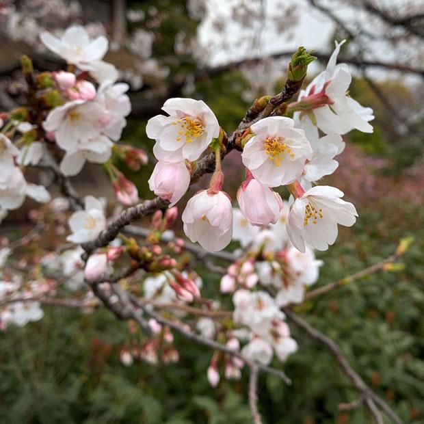 sumomo365_201904_Sakura_01.jpg