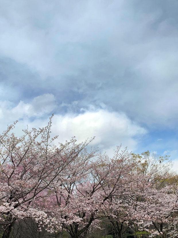 sumomo365_201904_Sakura_07.jpg